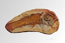 Cœlacanthe via fr.wikipedia.org