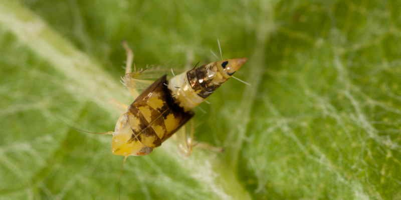 Cicadelle via ufarevue.ch