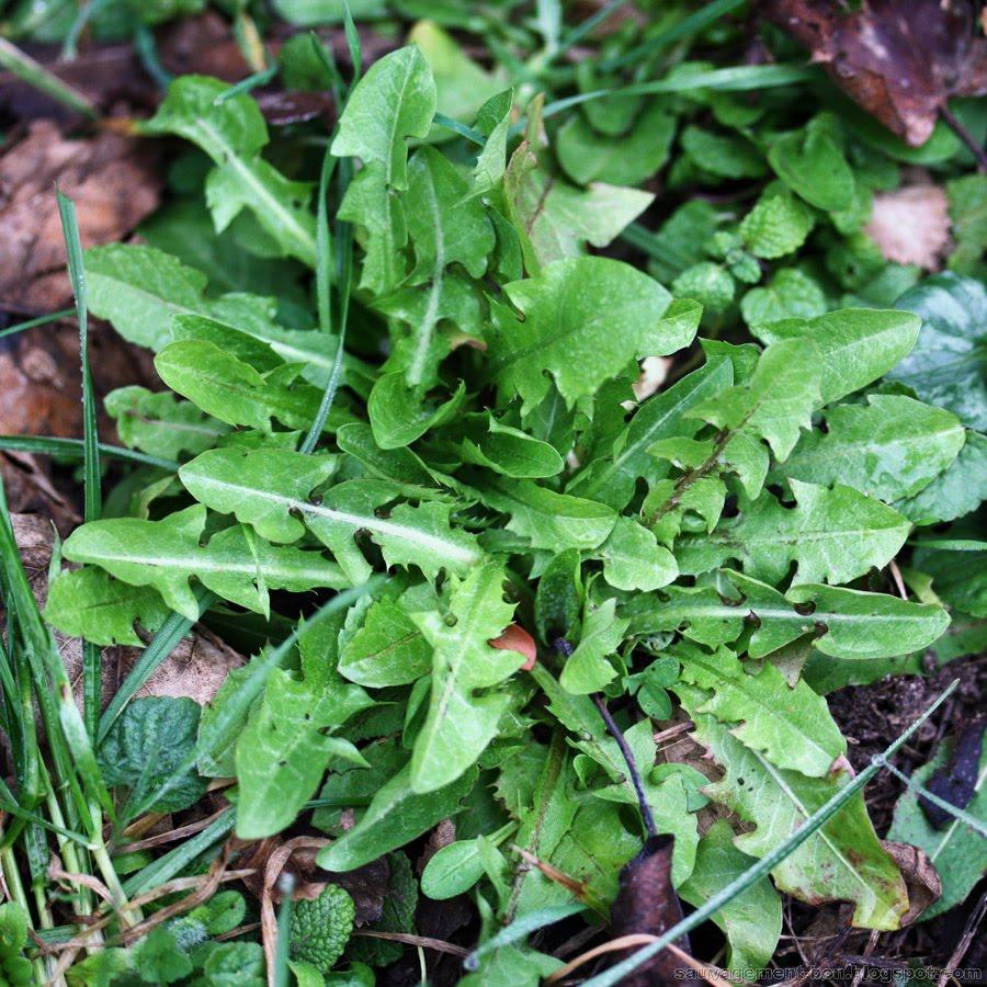 Pissenlit via sauvagement-bon.blogspot.com