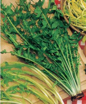 Pissenlits améliorés via nature-jardins.com
